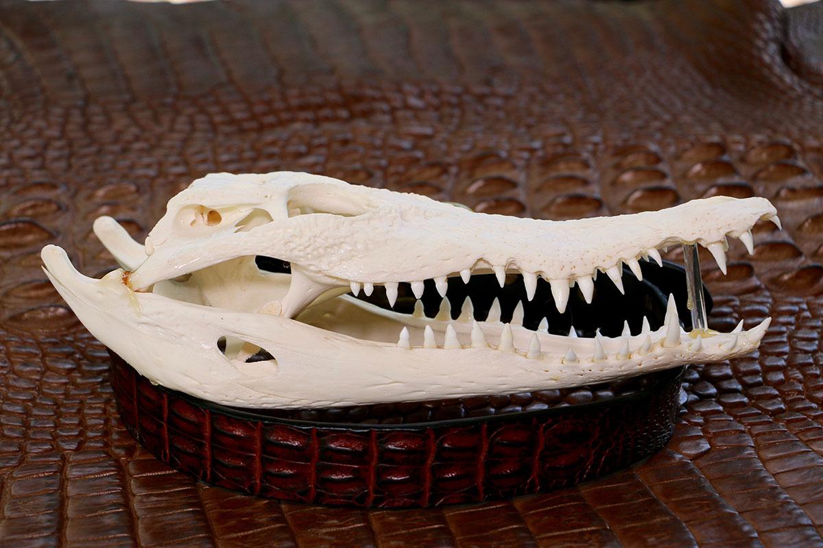 Crocodile Skulls, Micks Whips, Darwin